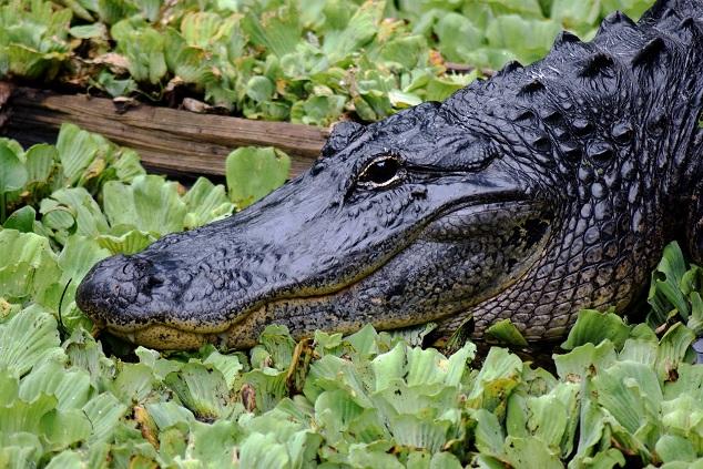alligator-2302051_1920